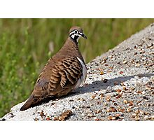 Squatter Pigeon Photographic Print