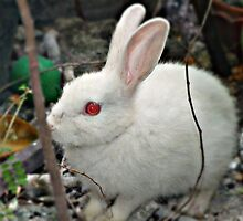 Rabbits have beautiful eyes.. by khadhy