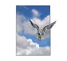 little fairy tern Photographic Print