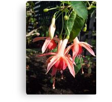 Pretty Little Fuchsias Canvas Print