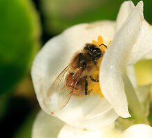 Bee on white Begonia by Andrew Widdowson