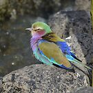 Lilac breated Roller in sunshine by Dorothy Thomson