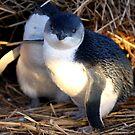 Fairy Penguins by Varinia   - Globalphotos