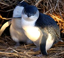 Fairy Penguins by Varinia   - Globalphotos