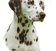 Dalmatian by Traffordphotos