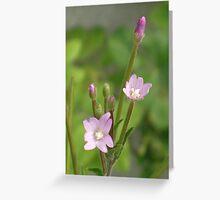 Hairy Willowherb- Epilobium hirsutum Greeting Card