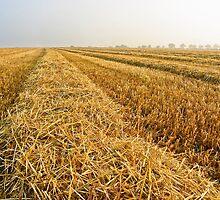 Wheat Stubble by Paul Davey