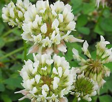 Alsike Clover- Trifolium hybridum by Tracy Faught