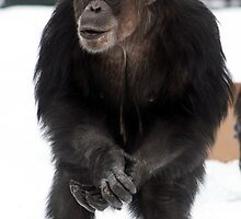 Becky in the snow - Chimpanzee (Pan troglodyte)  by amjaywed
