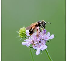 Bee on a flower by MarcoSaracco