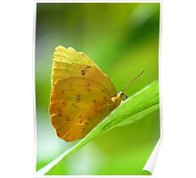Yellow Orange Butterfly on Lime Leaf in Costa Rica Rainforest Poster