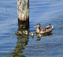 Seneca Lake Duck Family by Abbey Walls