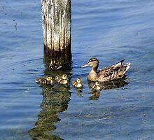 Seneca Lake Duck Family by Abbey Walls