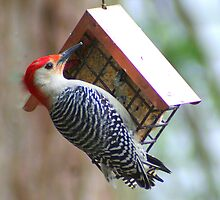 Red-bellied Woodpecker by Laurel Talabere