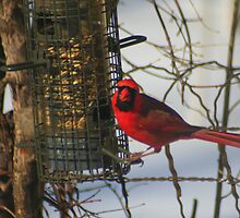 Cardinal at Feeder * by Laurel Talabere