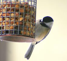 Chickadee at Peanut Feeder * by Laurel Talabere