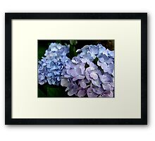 Lavender and blue hydrangea Framed Print