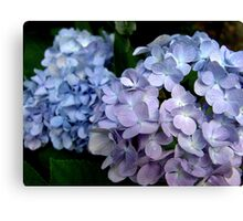 Lavender and blue hydrangea Canvas Print