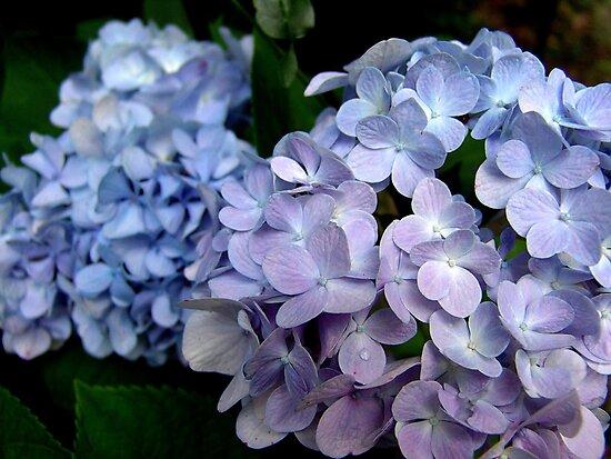 Lavender and blue hydrangea by May Lattanzio
