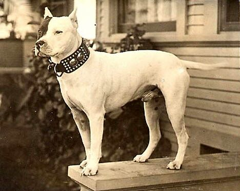 Vintage Image of Beautiful White Pit Bull by Tails of the Past