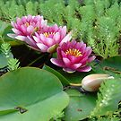 Waterlilies and Parrot Feather by May Lattanzio