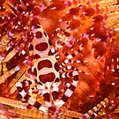 Coleman Shrimp on Fire Coral by Dan Sweeney