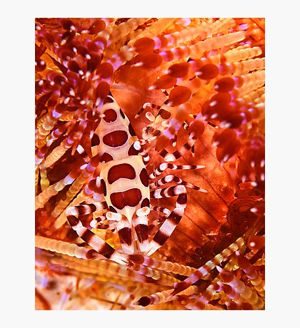 Coleman Shrimp on Fire Coral Photographic Print