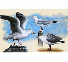 Silver Gulls 2 Photographic Print