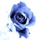 soft blue rose by wendywoo1972