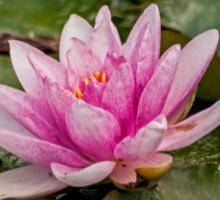 Water Lily (1) Sticker