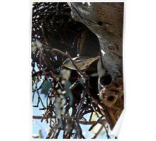 Brave Bird, Striated Pardalote (Pardalotus striatus) Poster
