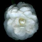 Camellia by Marsha Tudor