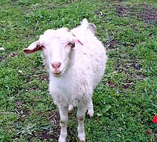 Young nanny goat by daffodil