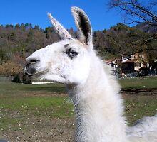 Graceful llama  by daffodil