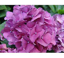 Violet Hydrangeas Photographic Print