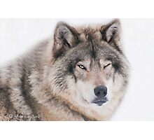 ..the wink of a wolf..... Photographic Print