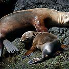 Californian Sea Lions by Steve Bulford