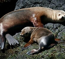 Californian Sea Lions by Steve Bulford