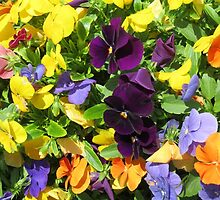 colorful spring pansies by hicster