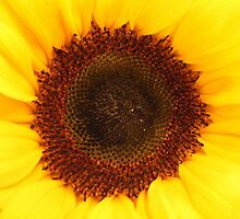Sunflower by Zoe Harmer