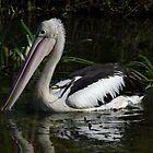 Australian Pelican (Pelecanus conspicillatus)  by Russell Mawson