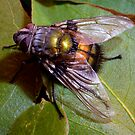 Big Blow Fly by bettyb