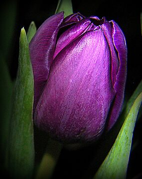 Purple Satin by Gayle Dolinger