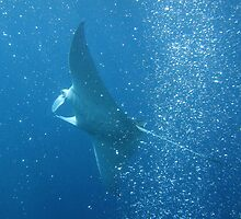 Playful Manta by Dr Andy Lewis