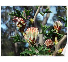 petrophile diversifolia. nannup Poster