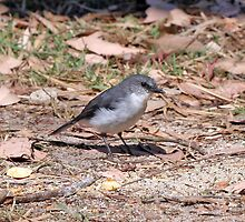 white breasted robin. Margaret River by shirleyscott