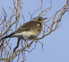 Fieldfare by jacqi