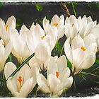White Crocus by © Kira Bodensted