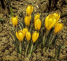 Yellow Crocus by © Kira Bodensted
