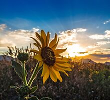 Colorado Gold by Jarrett720